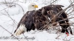 B.C. photographer captures rescue of bald eagle trapped in snare