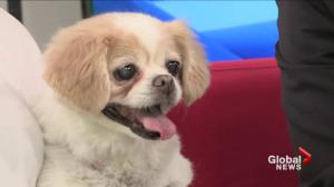 Adopt a Pet: Peaches the spaniel