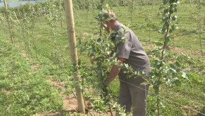 Dry weather leaves apple growers concerned over crops