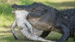 Cannibal alligator caught on camera chowing down on smaller gator