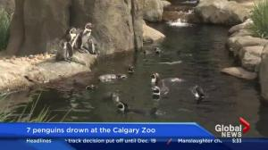 7 penguins drown at the Calgary Zoo