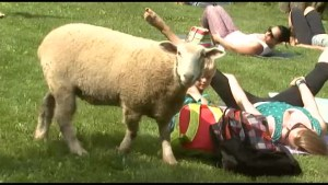 Yoga with Charlie the lamb