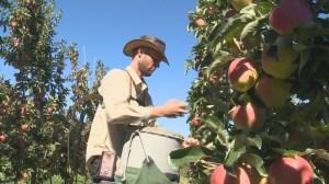 Okanagan's early apple harvest large and luscious