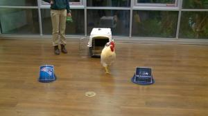 'Rudy the Rooster' picks the Seattle Seahawks to win the Super Bowl