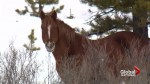 Birth control vaccinations being used to curb Alberta's wild horse population