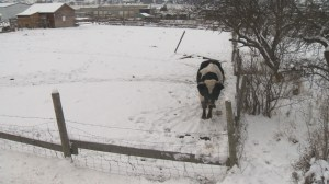 Concern over cold bull leads to SPCA intervention
