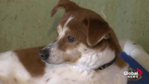 Two dogs rescued from Chinese meat market recovering in NS