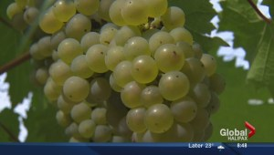 Ripe for the picking: Wine season in Nova Scotia