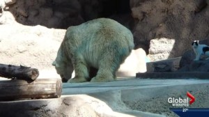 Arturo the polar bear dubbed the 'world's saddest animal'