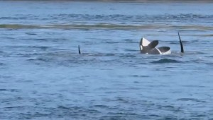 2 pods of orcas put on a show off coast of Galiano Island