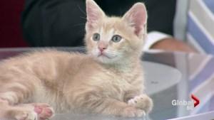 Adopt a Pet:: Mandarin and Satsuma (kittens)