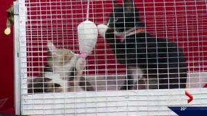 Cochrane Humane Society: Kittens