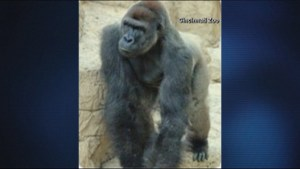 Cincinnati Zoo kills gorilla after he grabs 4-year-old boy who had fallen into the enclosure