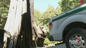 Stanley Park hollow tree set on fire