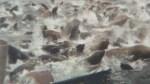 Sea Lions swarm herring boat