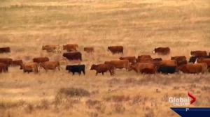 Alberta's Western Feedlots to wind down cattle operations