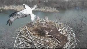Osprey nest cam catches bird of prey attack