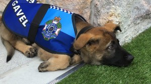 Australian K9-in-training too friendly for force, gets new gig
