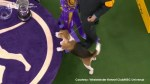 Canadian beagle wins Westminster Kennel Club 'Best In Show'
