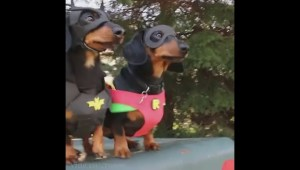How to meet Crusoe the celebrity dachshund
