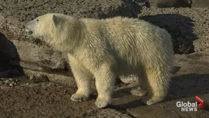 Juno the polar bear on the move from Toronto Zoo to Winnipeg's Assiniboine Park & Zoo