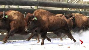 Wild bison make historic return to Banff National Park