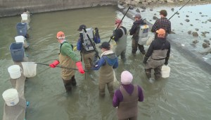 Rescuing fish from irrigation canals