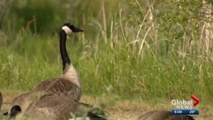 Saskatchewan citizen scientists documenting the province's birds