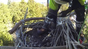 City of Vancouver workers get bird's eye view as repairs are made to eagle nest platform