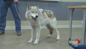 Wolf makes educational appearance at Kelowna campus of UBC
