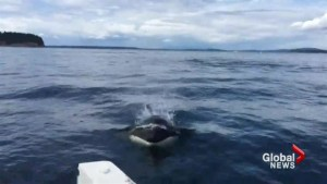 DFO to boaters: don't get too close to whales