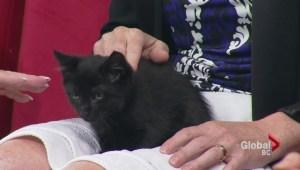 Adopt a Pet: Domestic short hair black kittens