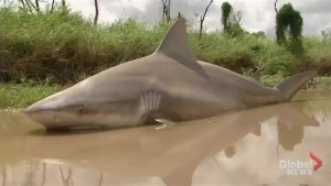 Bull shark left stranded on land after cyclone tears through northeast Australia