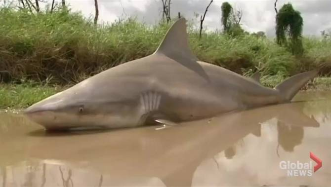 Bull shark left stranded on land after cyclone tears