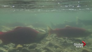 Millions of sockeye salmon return to Adams River