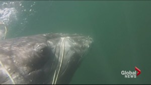 Several whales rescued last few months after getting entangled in fishing nets