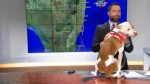 Funny footage of dog interrupts live TV newscast