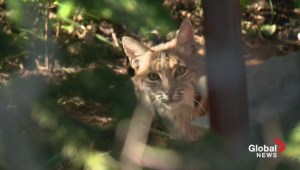 Bobcat family terrorizes neighbourhood