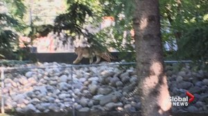 Cougar shot in Calgary's Willow Park community