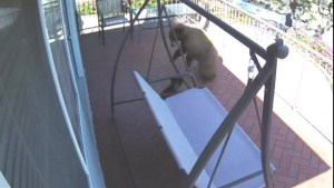 French bulldog fighting back bears caught on security camera