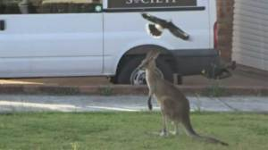 Kangaroo attacked by birds caught on camera on residential street