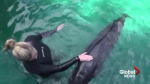 Chester the false whale calf shows signs of recovery