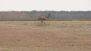 RAW: Emu on the loose in North Carolina