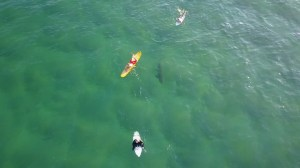 Drone operator desperately tries to alert surfers shark is lurking beneath them
