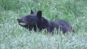 Squamish bear becoming too habituated