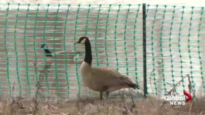 New Brunswick government hatch plan to rid Moncton traffic circle of geese
