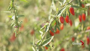 Growing goji berries locally