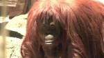RAW: Argentine court grants basic legal rights to orangutan