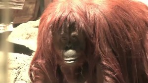 RAW: Argentine court grants basic legal rights to orangutan