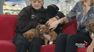 Adopt a Pet: Pit Bull Terrier mix puppies